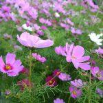 【秋桜(コスモス)畑】沖縄ではいつ、どこで見られる?